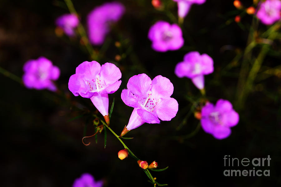 Agalinis Paupercula Or False Foxglove Digital Art