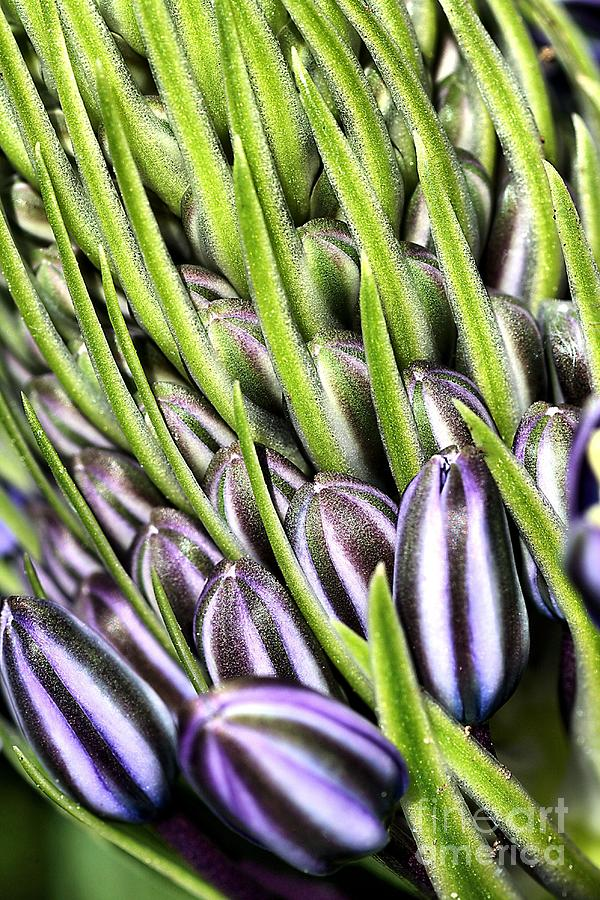 Agapanthus Photograph - Agapanthus Buds by Joy Watson