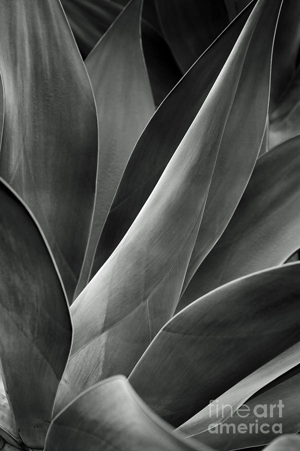 Agave In Black And White Photograph