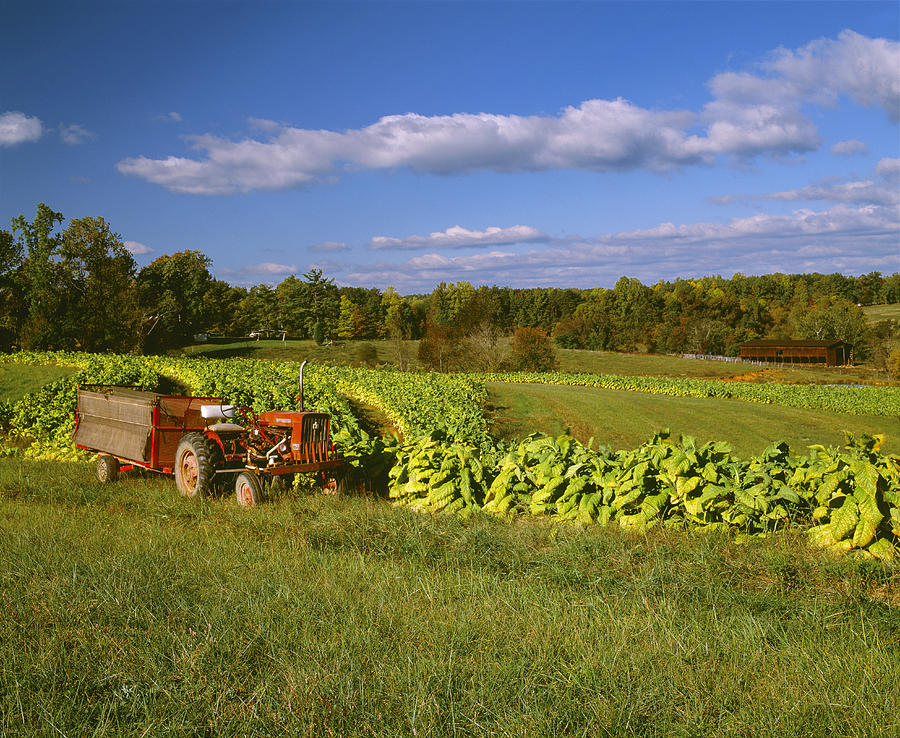 Agriculture - Fields Of Maturing Flue Photograph