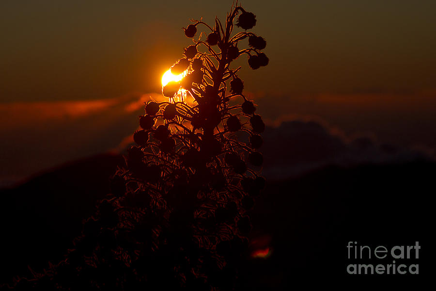 Aloha Photograph - Ahinahina - Silversword - Argyroxiphium Sandwicense - Sunrise On The Summit Haleakala Maui Hawaii  by Sharon Mau