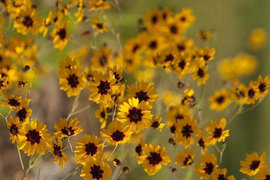Alabama Native Plants - Coreopsis Tinctoria is a photograph by Kathy ...