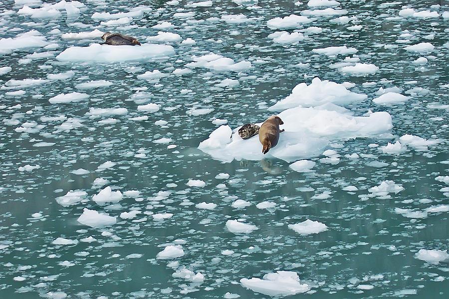 Alaska Photograph - Alaska Seals by Aimee L Maher Photography and Art Visit ALMGallerydotcom