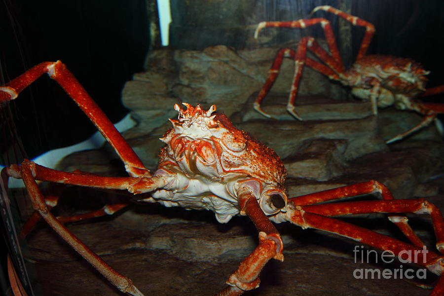 Alaskan King Crab 5d24125 Photograph  - Alaskan King Crab 5d24125 Fine Art Print