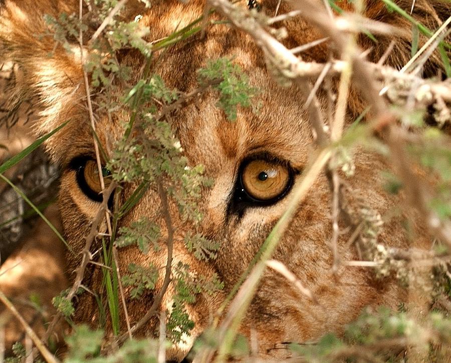 Lion Eyes Pyrography - Alert Lion by Nian Chen