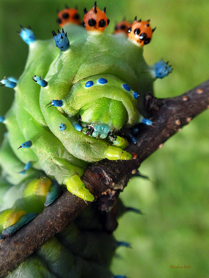 Alien Nature Cecropia Caterpillar Photograph  - Alien Nature Cecropia Caterpillar Fine Art Print
