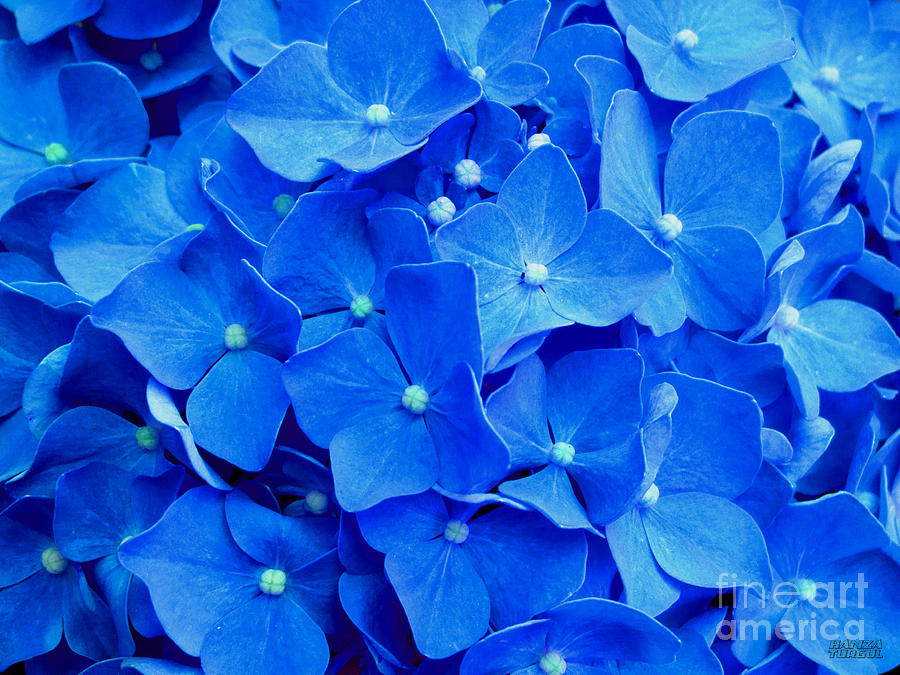 All Summer Beauty - Hydrangea Macrophylla Photograph