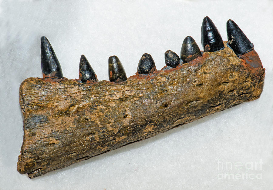 Alligator Jaw Fossil Photograph