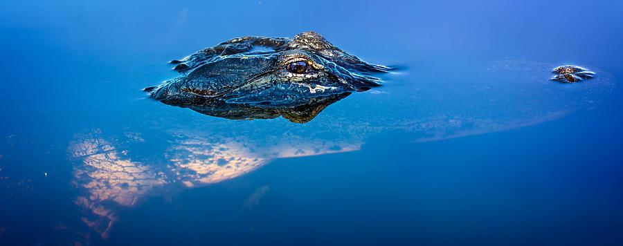 Alligator Panorama Photograph