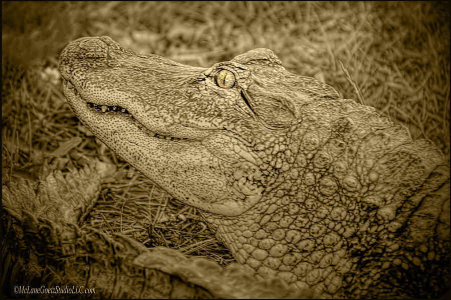 Alligator Photograph - Alligator Tail Black And White by LeeAnn ...