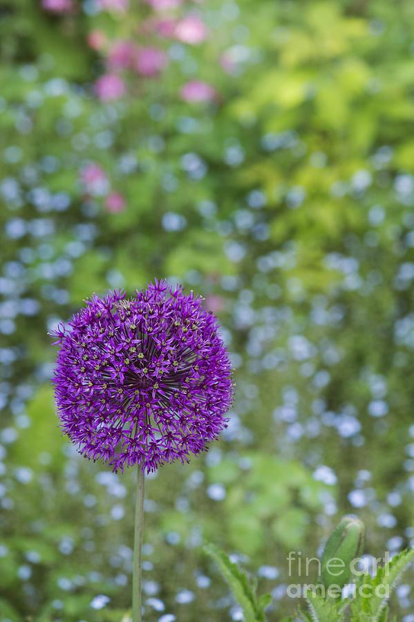 Allium Hollandicum Photograph - Allium Hollandicum Purple Sensation Flower by Tim Gainey