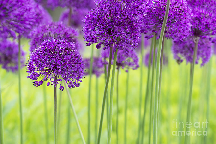 Allium Hollandicum Purple Sensation Flowers Photograph