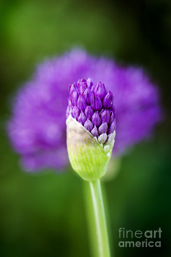 Allium Hollandicum Purple Sensation Photograph  - Allium Hollandicum Purple Sensation Fine Art Print
