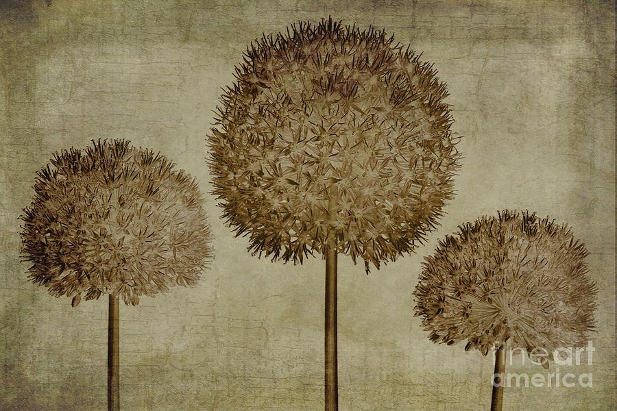 Allium Hollandicum Sepia Textures Photograph