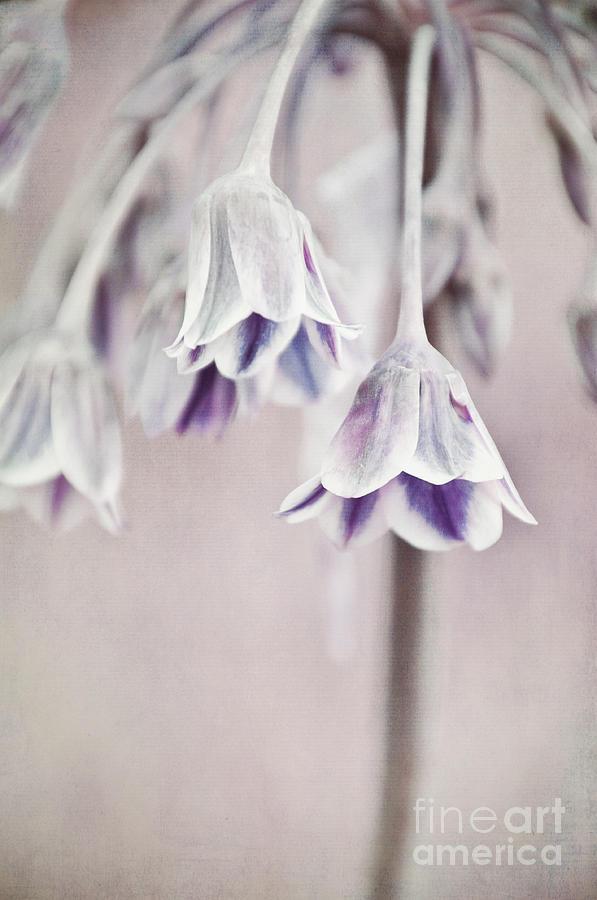 Allium Rose Photograph