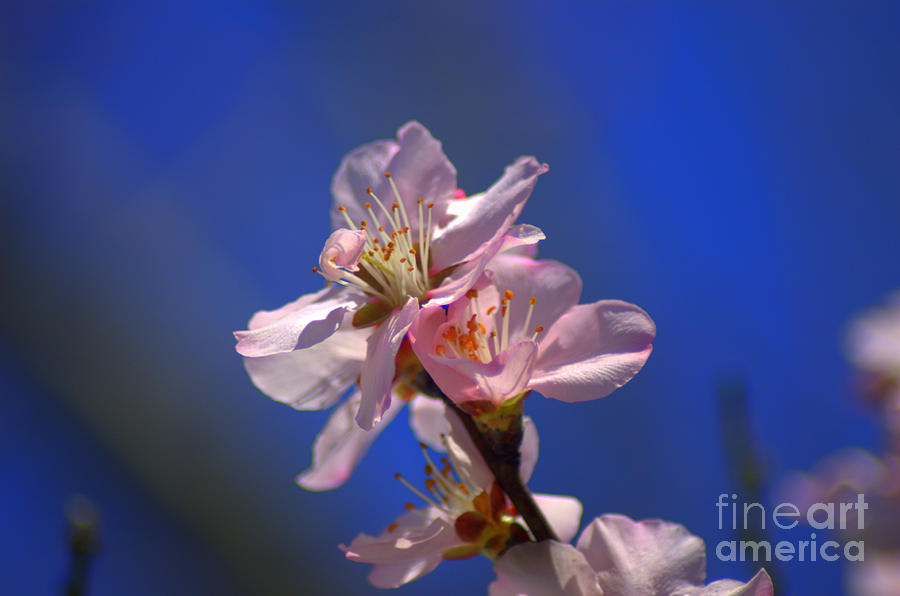 Almond Blossoms Against Blue Sky Photograph