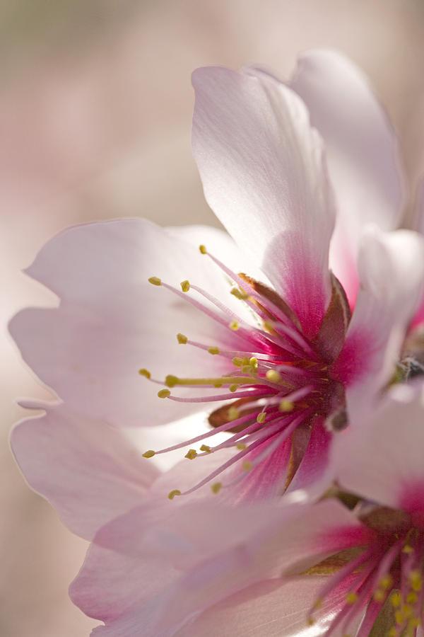 Almond (prunus Dulcis) Photograph