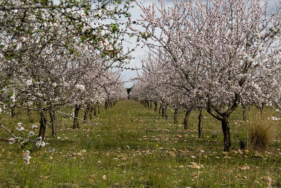 Almond Trees In Bloom Photograph  - Almond Trees In Bloom Fine Art Print