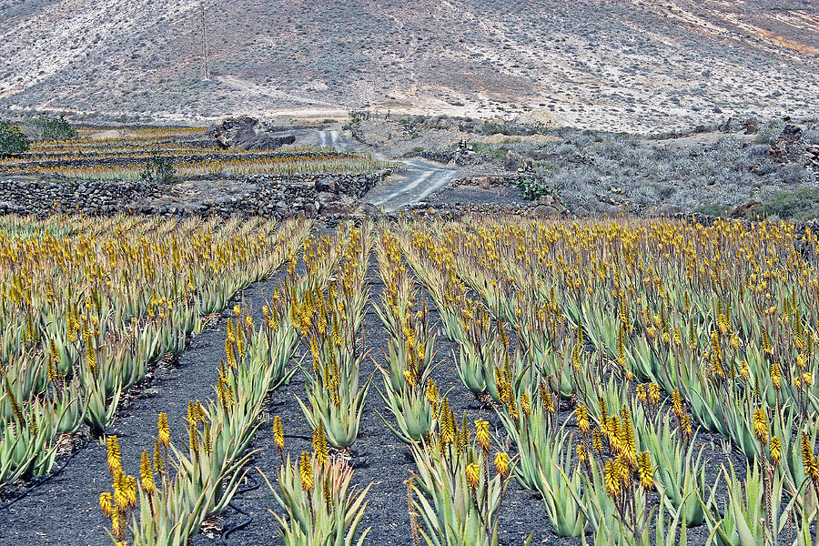 aloe vera plantation photograph by tony murtagh. Black Bedroom Furniture Sets. Home Design Ideas