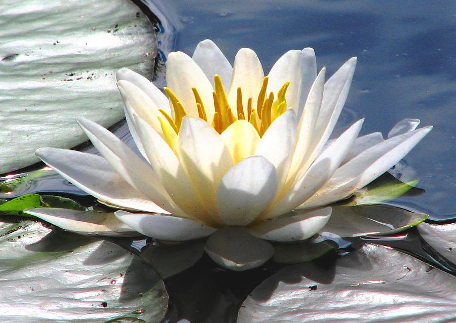 Water Lilies Photograph - Alone by Angela Davies