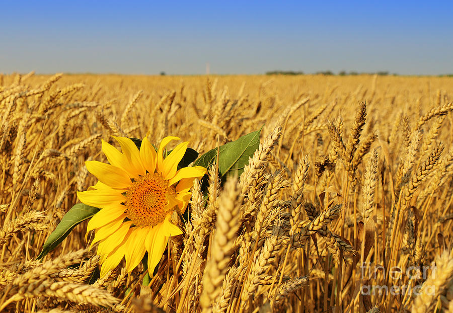 Alone Sunflower Sunflower In Wheat Photograph