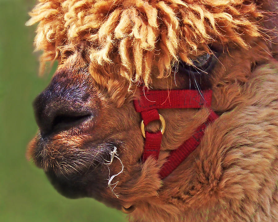 Alpaca Punk Photograph