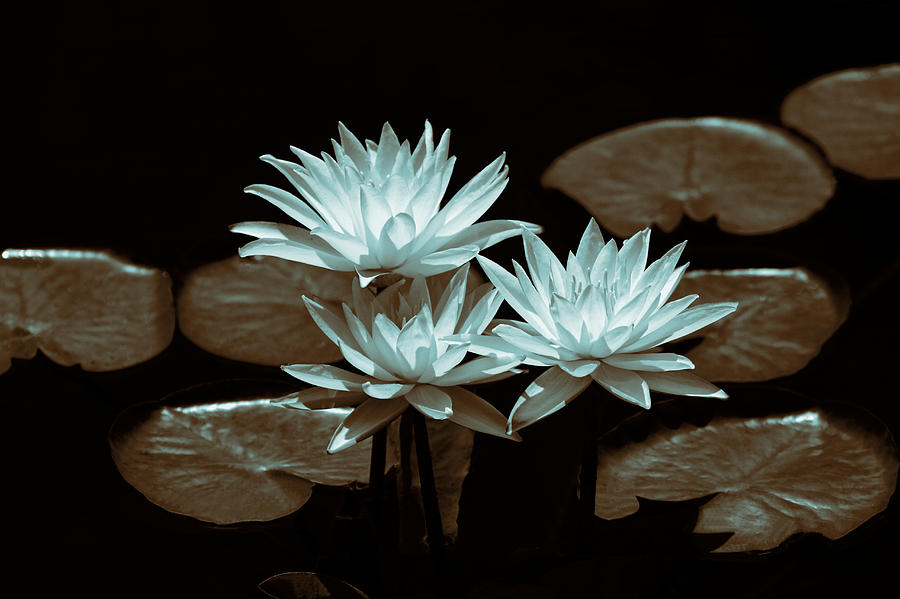 Altered Water Lilies Photograph  - Altered Water Lilies Fine Art Print