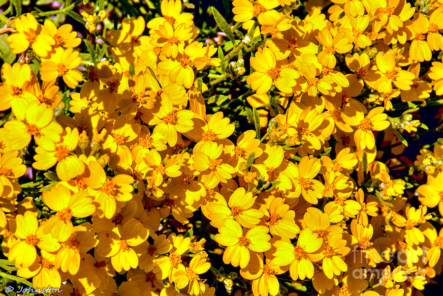 Am I Dreaming About Buttercups Photograph  - Am I Dreaming About Buttercups Fine Art Print