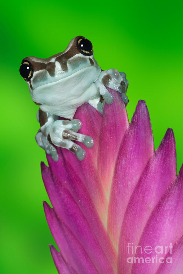 Animal Photograph - Amazon Milk Frog Trachycephalus by Dennis Flaherty
