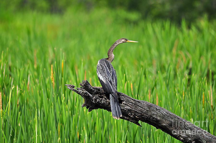 Anhinga Photograph - American Anhinga by Al Powell Photography USA