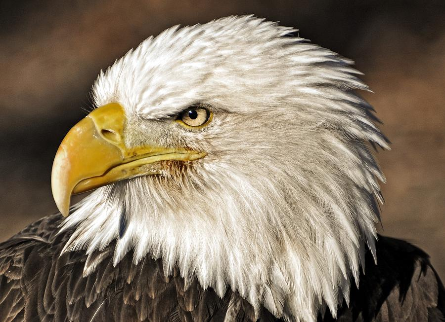 American Bald Eagle 33 Photograph