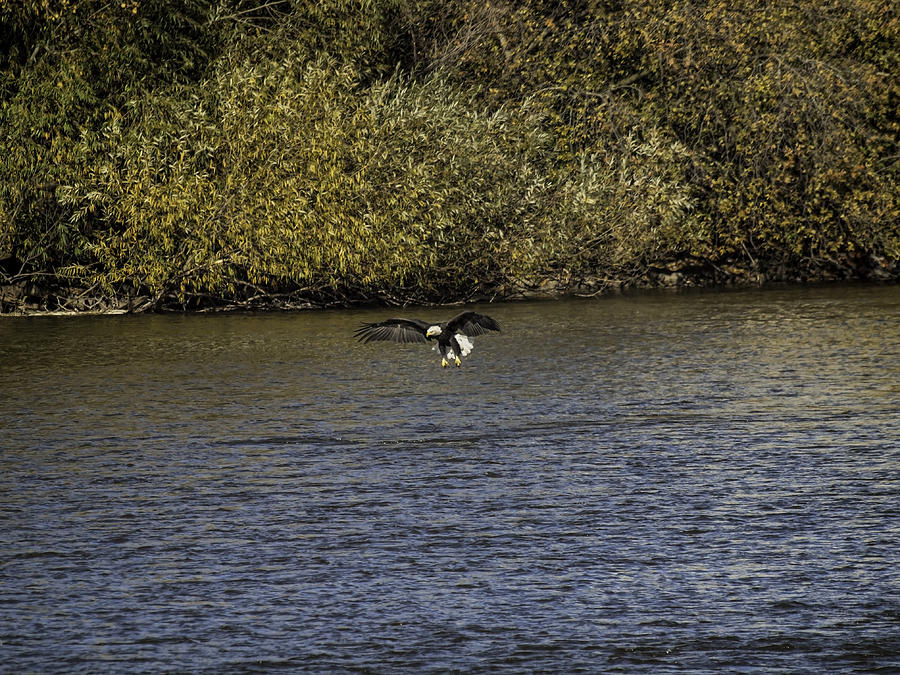 American Bald Eagle Over The Fox River Photograph  - American Bald Eagle Over The Fox River Fine Art Print