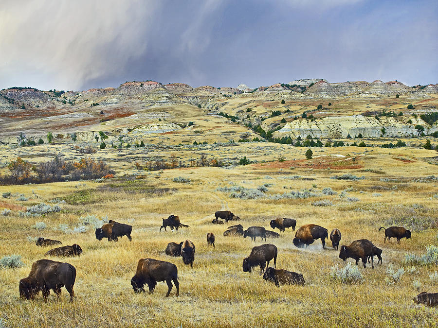 Mp Photograph - American  Bison Herd Grazing by Tim Fitzharris