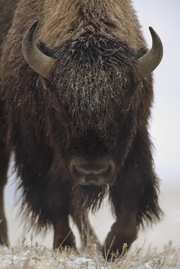 American Bison Portrait Photograph