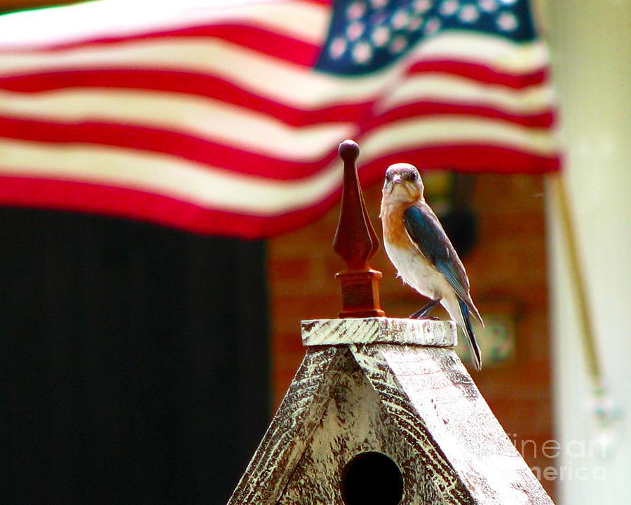 American Bluebird Photograph
