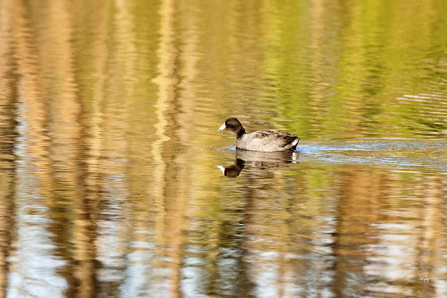 American Coot Photograph