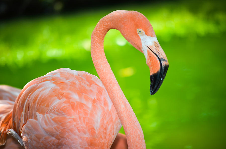 American flamingo painting - photo#25