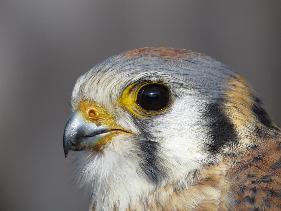 American Kestrel Head Shot Pyrography