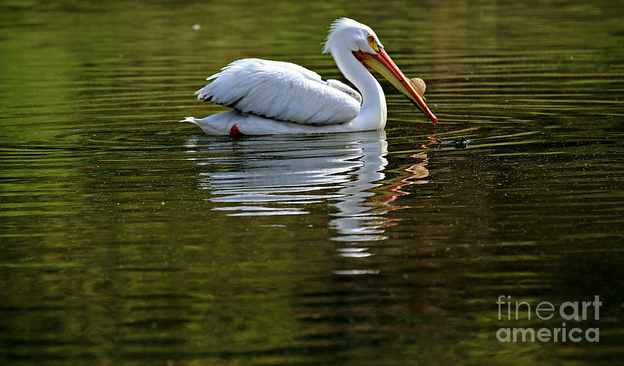 American White Pelican Photograph - American White Pelican by Elizabeth Winter
