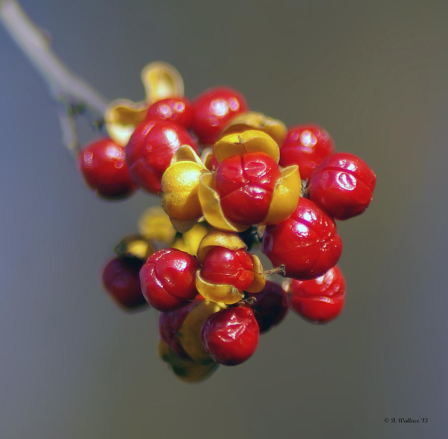 American Winterberry Photograph