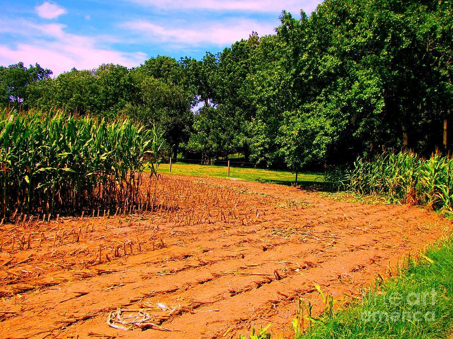 Amish Corn Field Photograph