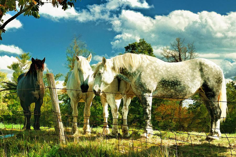 Amish Work Horses Photograph