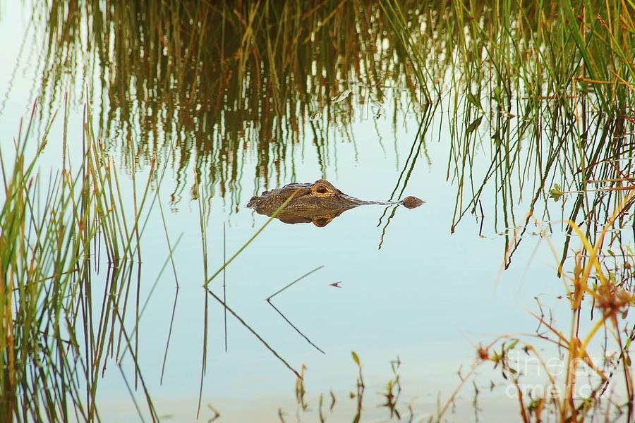 Alligator Photograph - Among The Reeds by Lynda Dawson-Youngclaus