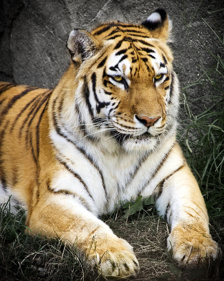 Amur Tiger Photograph  - Amur Tiger Fine Art Print