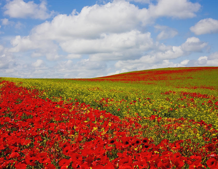 An Abundance Of Red Poppies In A Field Photograph