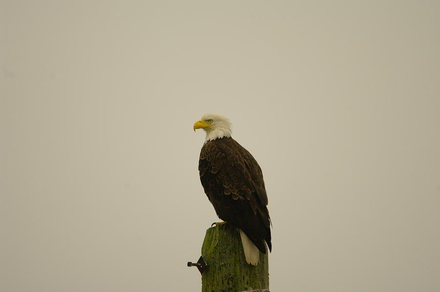 Eagle Photograph - An Eagle Perched by Jeff Swan