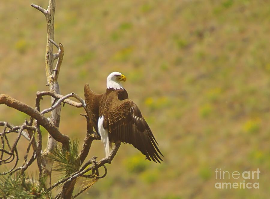 An Eagle Stretching Its Wings Photograph  - An Eagle Stretching Its Wings Fine Art Print