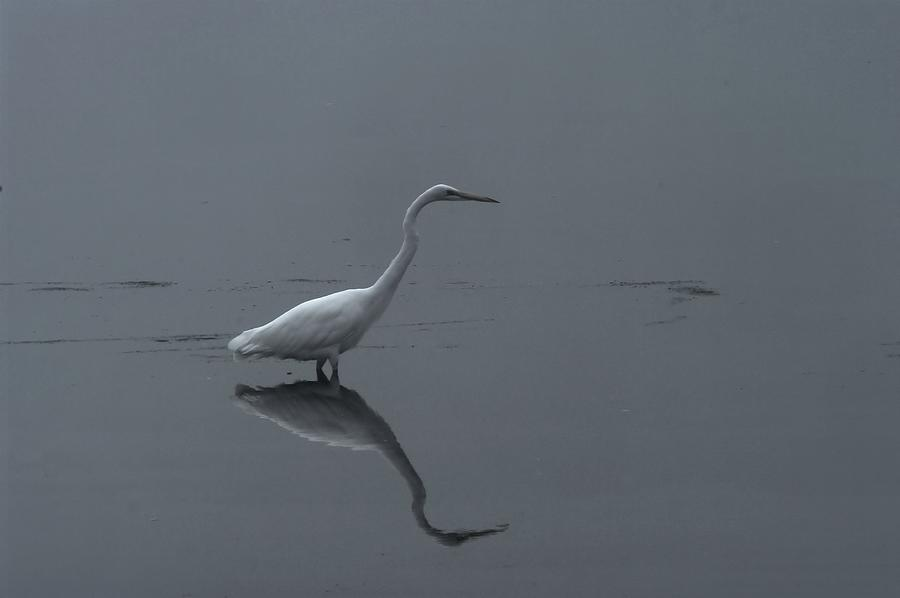 An Egret Standing In Its Reflection Photograph