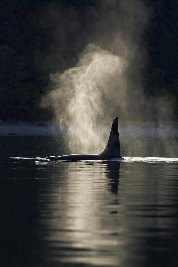 An Orca Whale Exhales Blows Photograph  - An Orca Whale Exhales Blows Fine Art Print