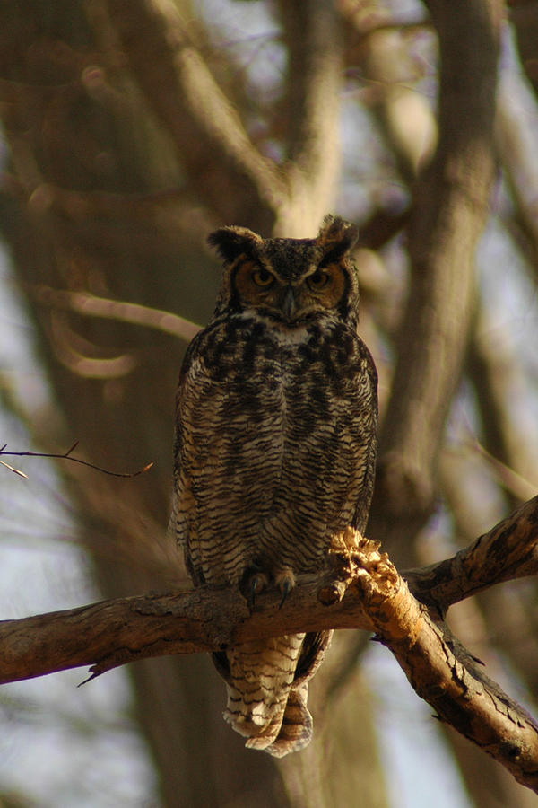 An Owl Photograph  - An Owl Fine Art Print